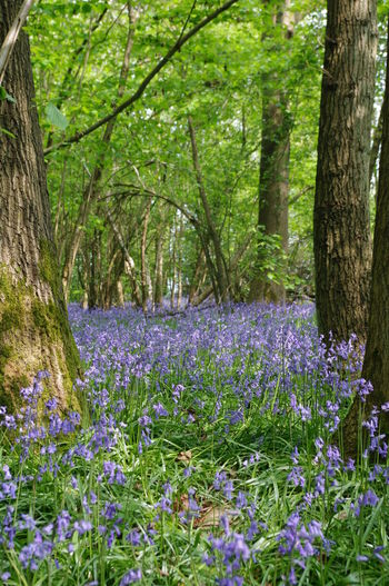 This woodland will be destroyed by the HS2 rail link. Progress? Beauty In Nature Blooming Bluebells Branch Flower Forest Fragility Freshness Green Color Growth Hs2 In Bloom Landscapes With WhiteWall Nature No To HS2 Plant Tranquil Scene Tranquility Tree Tree Trunk Warwickshire Woodland Walk Natures Diversities Colour Of Life