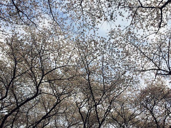 대전에서 벚꽃놀이 Daejeon, Korea