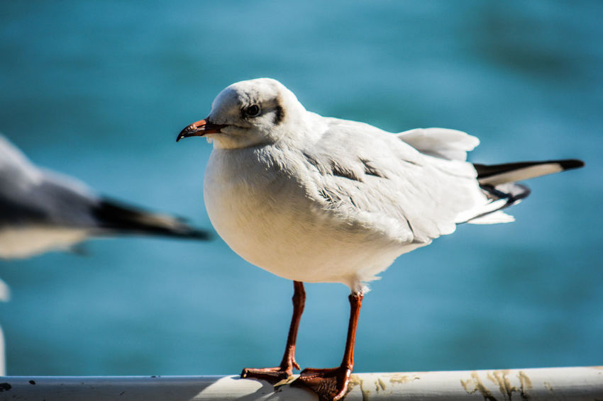 Bird Animal Themes Animal Vertebrate One Animal Animals In The Wild Animal Wildlife Focus On Foreground Perching Day Seagull Nature Railing No People Close-up Water Beak Full Length Sea Bird Sea Leg