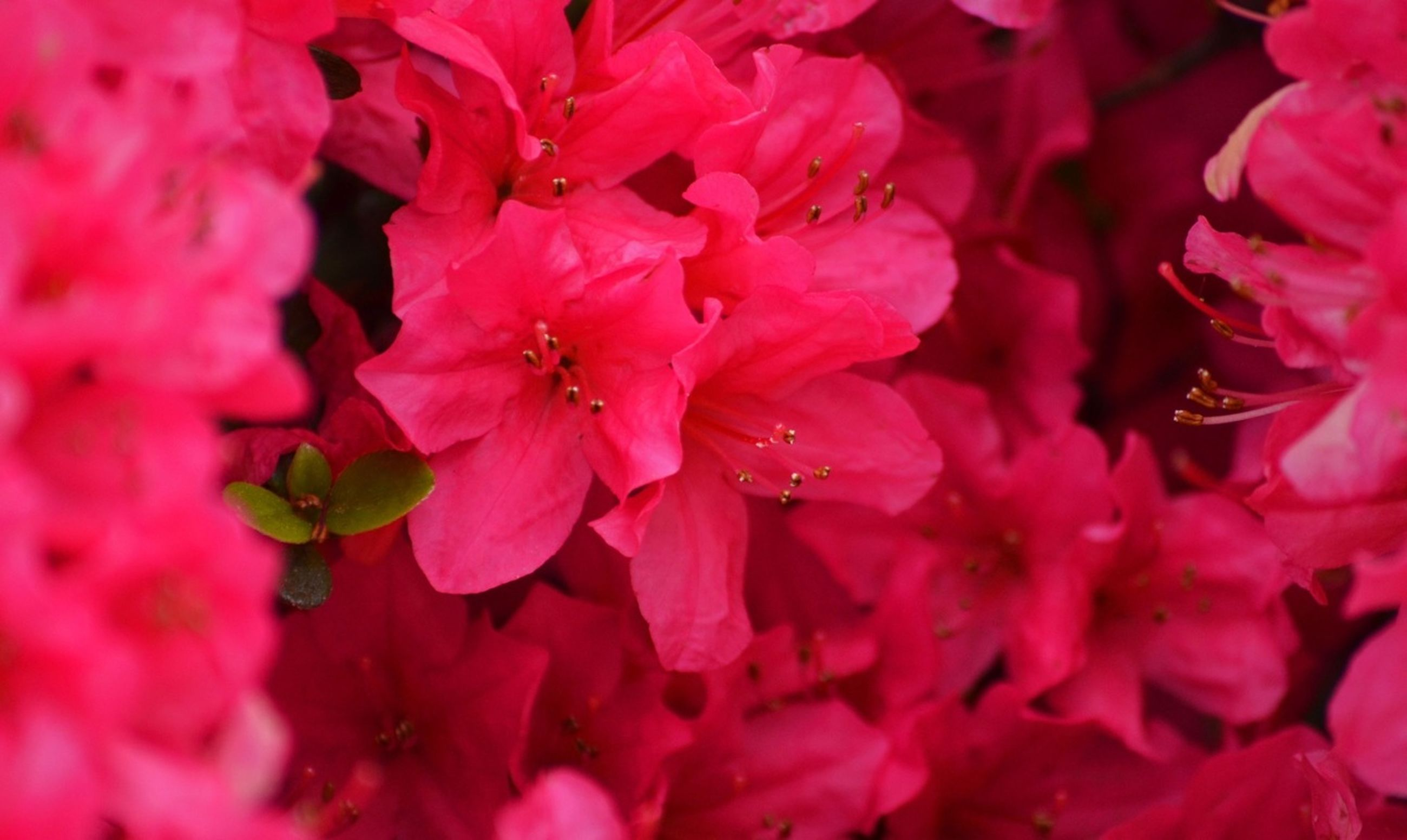 flower, freshness, pink color, petal, fragility, growth, beauty in nature, nature, close-up, flower head, backgrounds, blooming, pink, full frame, selective focus, plant, outdoors, focus on foreground, in bloom, red