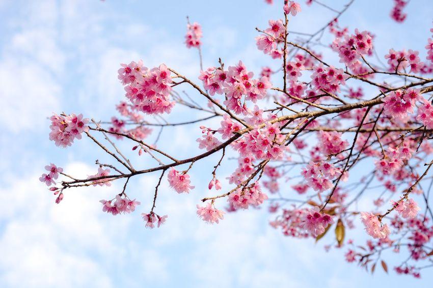 Those flowers belong with sky. Follow IG : birdpheton Nature Pink Color Beauty In Nature Flowers Pink Flowers Blue Sky Birdiegrapher Phulomlo Phuhin Rongkla Phitsanulok Unseenthailand Thailand