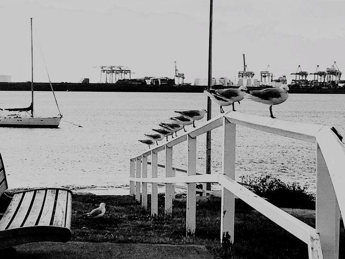 Sea Seagulls And Sea Sydney, Australia Day Blackandwhite Mylove