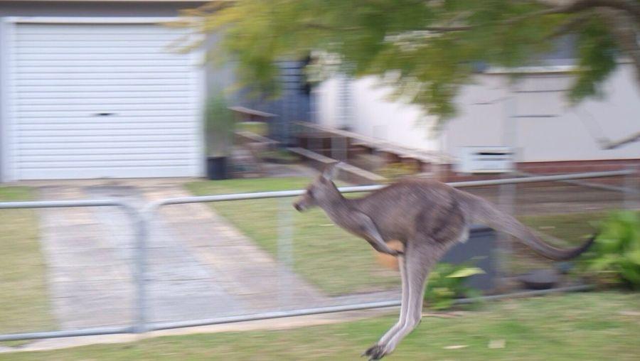 Jump !! Kangaroo Australia Enjoying Life