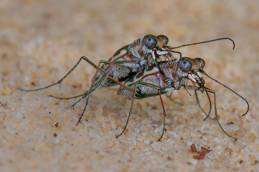 Mating Mating Tiger Beetle Animal Animal Body Part Animal Eye Animal Themes Animal Wildlife Animal Wing Animals In The Wild Close-up Day Fly Housefly Insect Invertebrate Macro Nature No People One Animal Outdoors Selective Focus Zoology