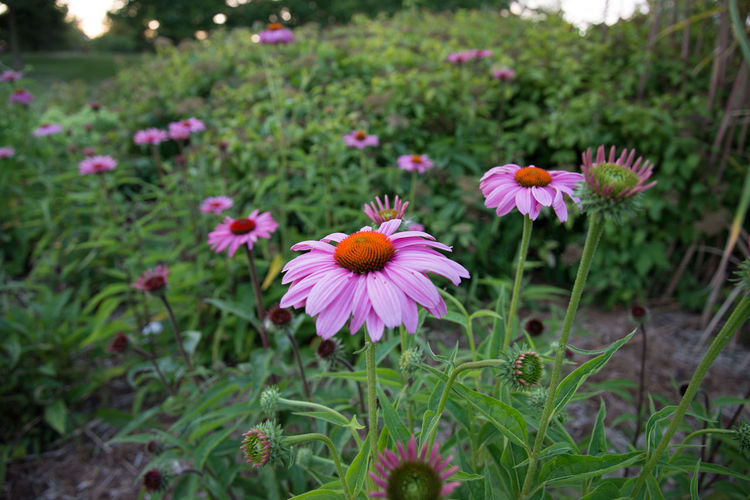 Butterfly habitat Beauty In Nature Butterflies Butterfly Habitat Day Flower Flower Head Focus On Foreground Fragility Freshness Garden Green Color Growth Nature No People Outdoors Perennial Petal Plant Pollen Sunset Wildflowers Wildlife Habitat