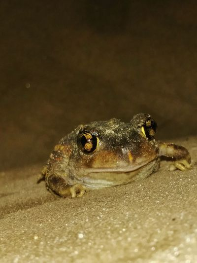 Toad frog Beauty In Nature Close Up Toad Frog Toadfrog Eyes