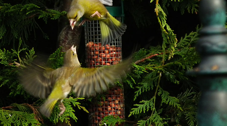 Fight you for it Green Color Greenfinch Outdoors Wildlife Nature