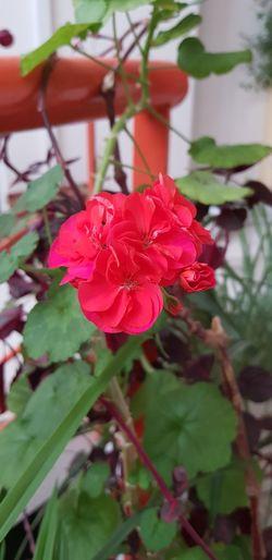 çiçek Flower Head Flower Red Pink Color Leaf Petal Close-up Plant