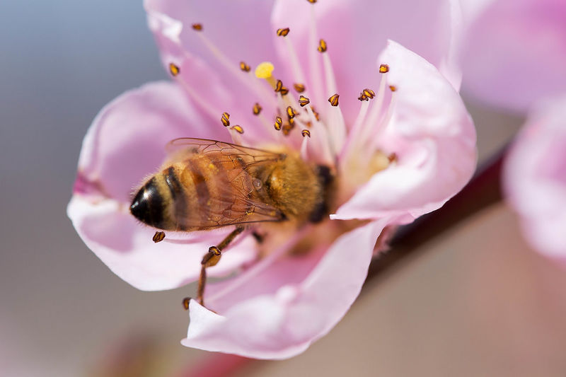 Close-up of insect pollinating pink flower