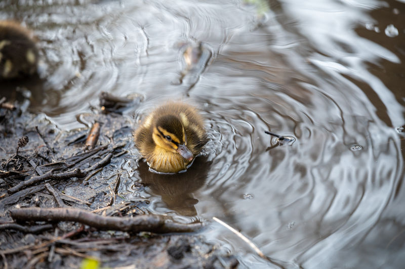 High angle view of baby duck swimming in lake