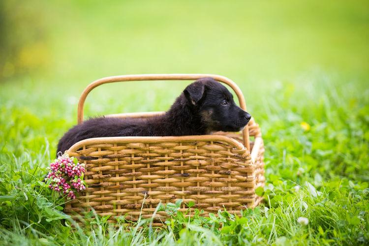Black puppy in wooden basket AdoptDontShop Adoption Grass Puppy Love Summertime Adopt A Shelter Pet Basket Black Canine Dog Domestic Domestic Animals Flower Mammal One Animal Pets Puppy Wooden
