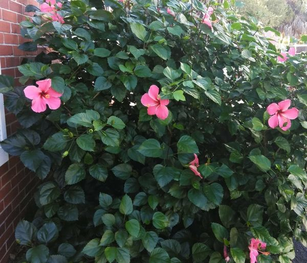 Beautiful flowers Hibiscus 🌺 Pretty Pink  Flower Leaf Petal Close-up Blooming Plant