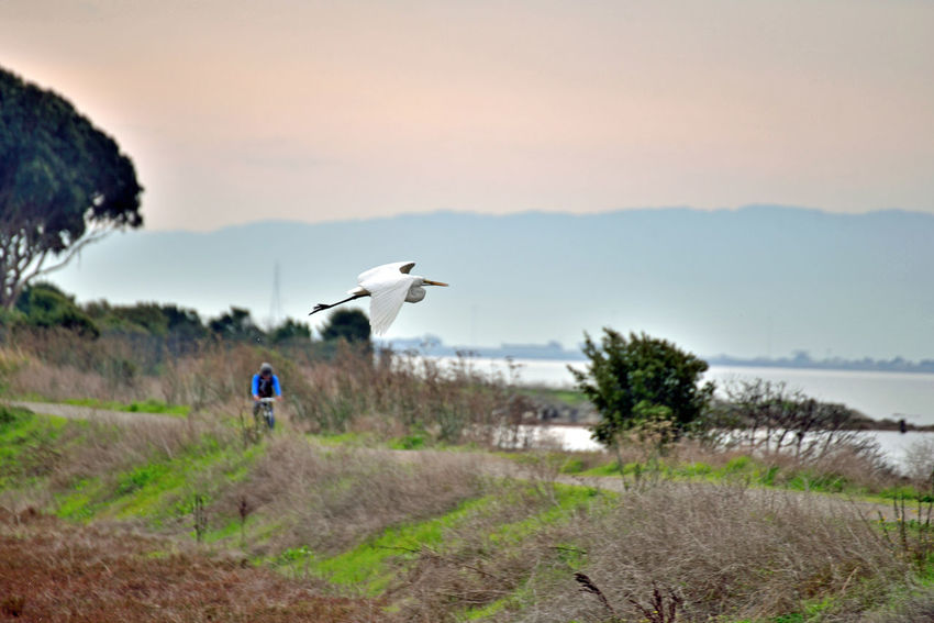 Snowy Egret In Flight 2 Hayward Regional Shoreline Park Tidal Wetlands Marsh Snowy Egret Egretta Thula Ardeidae Small White Heron Forager Wader Stalks Prey In Shallow Water & Mudflats Probes Mud By Paddling Its Feet Birds🐦⛅ Birds_collection Birdwatching Birds In Flight Bird_lovers Orinthology Nature Beauty In Nature Nature_collection Landscape_Collection Landscape_photography Diet: Aquatic Animals, Frogs.,fish, Worms, Crustaceans, Insects Flying Animal Wildlife