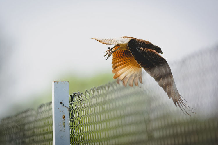 Low angle view of bird flying over chainlink fence