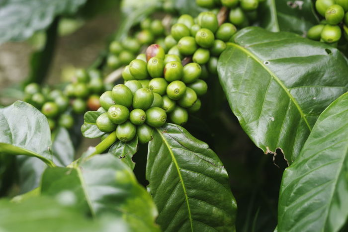 COFFEE TREE Arabica Coffee Beauty In Nature Close-up Coffee Tree Day Focus On Foreground Food Food And Drink Freshness Fruit Green Color Growth Healthy Eating Leaf Nature No People Outdoors Plant Plant Part Selective Focus Tree Wellbeing