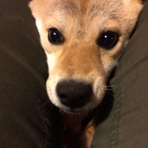 Shibainu 柴犬の柴田 柴犬 Dog Shiba Inu