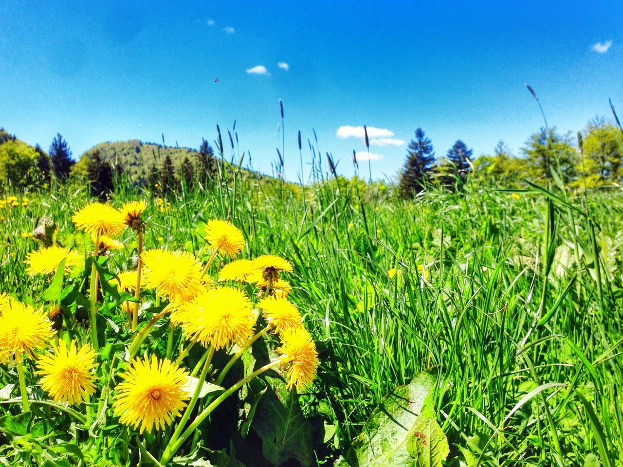 Dandelion in bloom in meadow