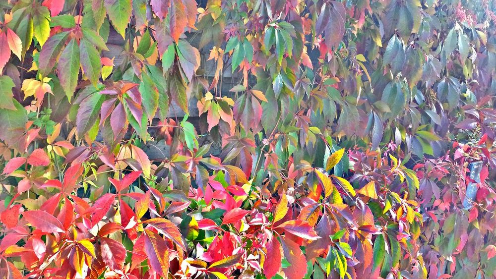 🍁🍃🍂 Leaf Multi Colored Autumn Beauty In Nature Close-up Awesome_nature_shots Naturelovers Nature Photography Autumn Epic Shot Photography Leaves Followme Nature_collection EyeEm Best Shots - Nature Eye4photography  Beauty In Nature Leaves_collection Leafs Photography Leaf Vein Leafporn EyeEm The Best Shots Beautiful Nature Autumn Leaves Awesome_shots Naturelife