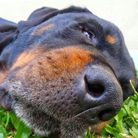 Dog Animals Rottweiler Dog❤