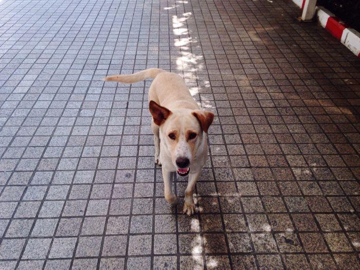 Hello Human! Thai Street Dog True Tower White Dog Playful Lunch Time Walking Around Nice Dog Happy Dog Walk To Me Bangkok