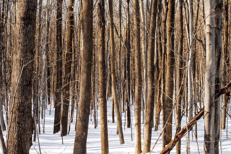 Walking in the woods Tree Snow Winter Cold Temperature Trunk Forest Tree Trunk No People Plant Nature Day Land Tranquility Beauty In Nature Outdoors Wood - Material Environment Frozen Non-urban Scene Icicle