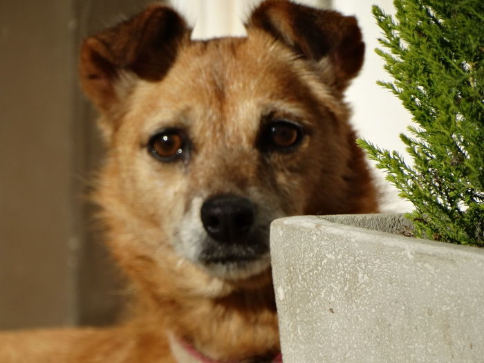 Dog Pets German Shepherd Domestic Animals Looking At Camera One Animal Portrait Animal Themes No People Mammal Day Outdoors Close-up