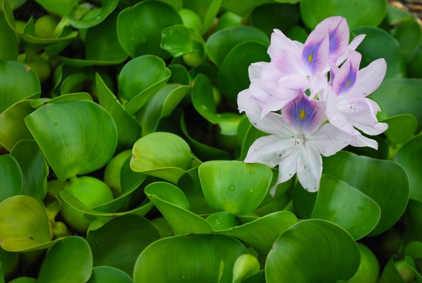 Green Green Color Beauty In Nature Blooming Blossom Blossom Flower Close-up Cool Nature Day Flower Flower Head Fragility Freshness Green Background Growth Leaf Nature No People Outdoors Petal Plant Purple Water Flower Water Flowers White And Purple Flower