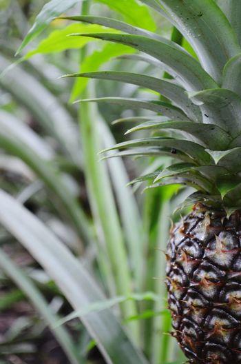 """My Grandma's Garden"" Relaxing Enjoying Life Taking Photos Garden Fruits Nature Amateur Photography Pineapple"