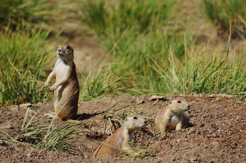 Prairie Dogs Rodents Danger Standing Tall Looking Prairie Dogs EyeEm Selects Animals In The Wild Animal Wildlife Grass Nature Outdoors No People