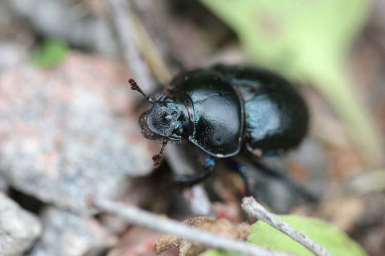 Close-Up Of Dung Beetle On Ground