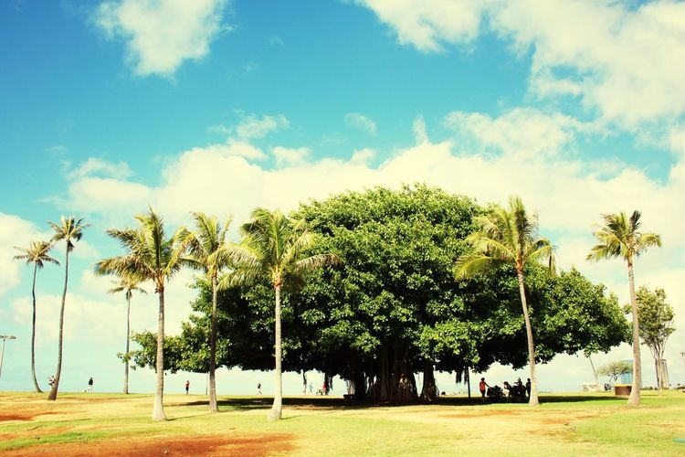 Tree Sky Palm Tree Growth Nature Cloud - Sky Beauty In Nature Tranquility Outdoors Green Color Day Ala Moana Landscape Tranquility Blue Sky Banyan Tree