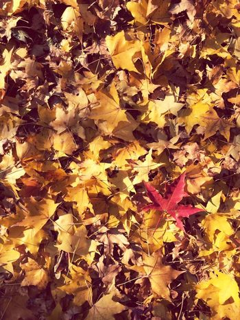 Change Leaf Autumn Leaves Maple Leaf Maple Dry Yellow Nature Backgrounds Fallen Full Frame Beauty In Nature Abundance No People Outdoors Tranquility Day Maple Tree Fragility