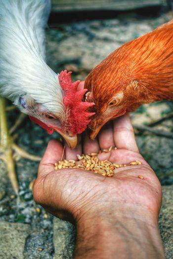 Close-up of hand feeding chicken