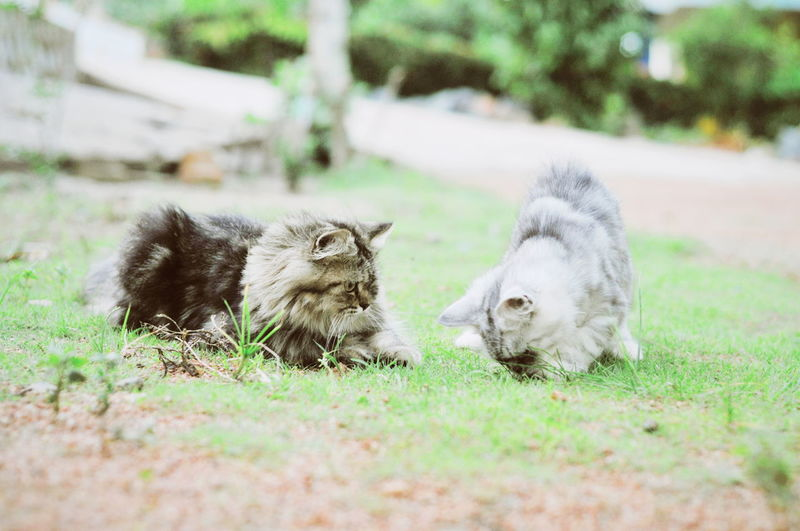 Cats relaxing on field