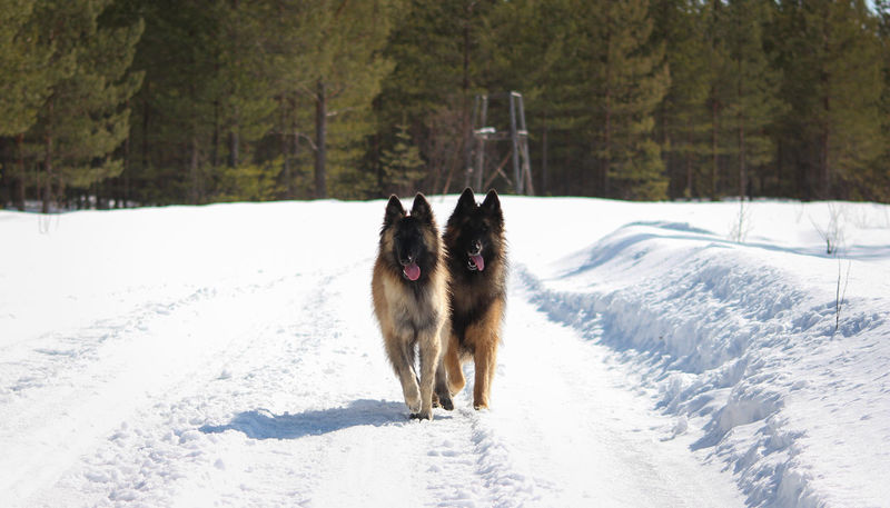 Belgian Tervueren Finland Lapland Scandinavia Animal Animal Themes Belgian Shepherd Canine Cold Temperature Day Dog Land Nature No People Pets Snow Tree White Color Winter The Traveler - 2018 EyeEm Awards
