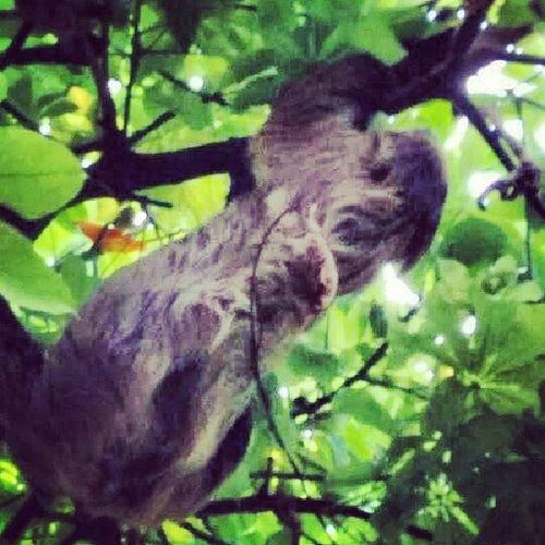 For the love of Sloths. Sloth Vancouveraquarium Slowmoving