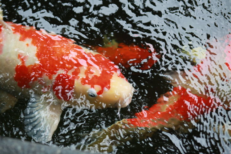 Close-up Fish Fishes Full Frame Koi Koi Carp Koi Fish Nature No People Orange Color Red Fish Selective Focus Water