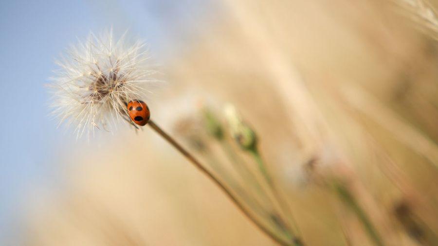 Close-Up Of Ladybug On Dandelion Stem