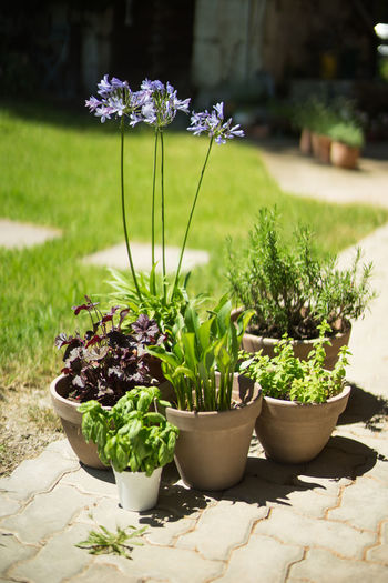 herbs and flowers Beauty In Nature Blue Blue Flowers Blurred Background Daylight Deep Of Field Flower Flower Pot Flowers Flowers,Plants & Garden Fresh Herbs  Freshness Garden Gardening Grass Green Growth Herbes Mitakon 50mm F0.95 Nature Plant Plant Pot Plants Pot Potted Plant