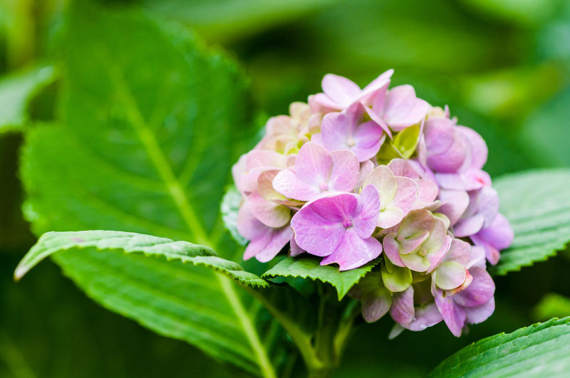 hydrangea hortensis pink blossom - gardens backgrounds Beauty In Nature Blooming Blossom Botany Close-up Flower Flower Head Fragility Freshness Green Background Growth Hydrangea In Bloom Nature Nature_collection New Life Petal Pink Pink Color Softness Springtime Visual Magic Visual Poetry