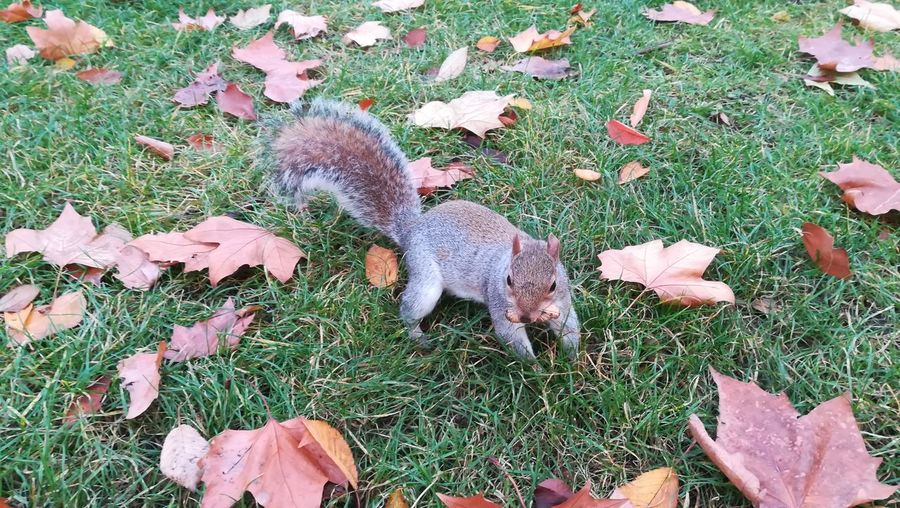 EyeEm Nature Lover EyeEm Selects EyeEm Gallery EyeEmNewHere LONDON❤ London Sciuridae Squirrel United Kingdom Animal Themes Animals In The Wild Beauty In Nature Close-up Day Field Grass High Angle View Huawei Leaf Mammal Nature Nature_collection No People Outdoors St James Park