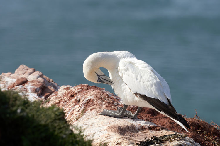 A gannets stand on a rock. sea in the background. has itching between the wings.