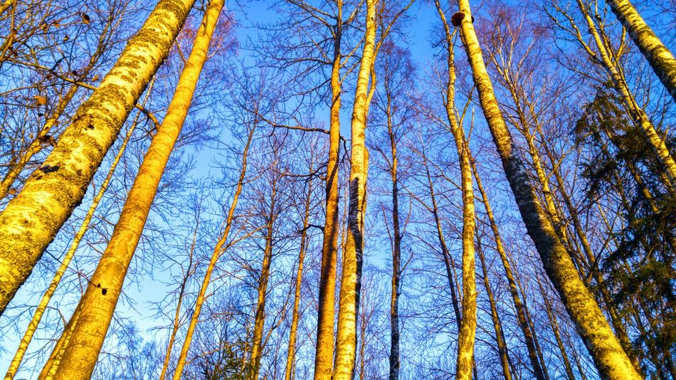 Lookingup Beauty In Nature Tree_collection  Forest Outdoors Nature Tree Perspective Photography Low Angle Light Nordic Light Sunsetlight AWalkInTheWoods