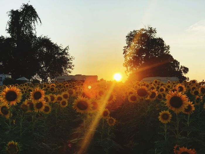 Sunflowers garden on sunset scenery sky Plant Sky Sunset Beauty In Nature Tree Growth Sun Nature Tranquility Tranquil Scene Sunlight Lens Flare Scenics - Nature No People Sunbeam Landscape Orange Color Outdoors Land Field