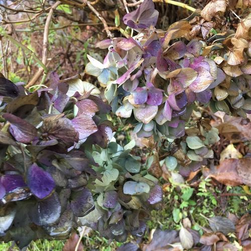 Purple Blue Autumn Beauty In Nature No People Plant Beauty In Nature Fragility Nature Hydrangea Flower Flowers