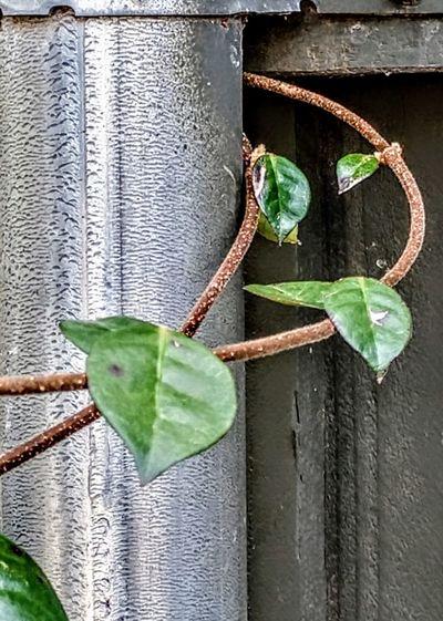 variation Leaf Close-up Green Color Plant Ivy Creeper Tendril Vine Plant Pod