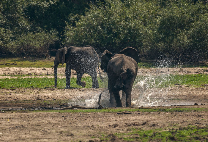 African Elephant Running away Family Running Animal Animal Family Animal Themes Animal Wildlife Animals In The Wild Day Domestic Animals Elephant Elephants Field Grass Group Of Animals Herbivorous Land Mammal Nature No People Outdoors Plant Tree Vertebrate Young Animal Zoology