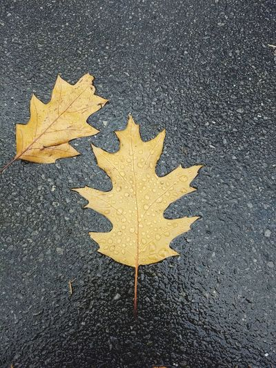 High angle view of yellow maple leaf on road