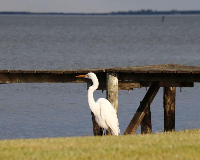 EyeEm Selects Bird Swan Flamingo Water Lake Pelican Stork Animal Themes Water Bird Freshwater Bird Pier Swimming Animal