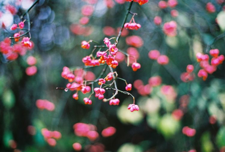 Bokeh Nature Pink Color Flower Nature Beauty In Nature Branch Plant Outdoors Springtime Close-up Leaf CarlZeiss Contax167mt